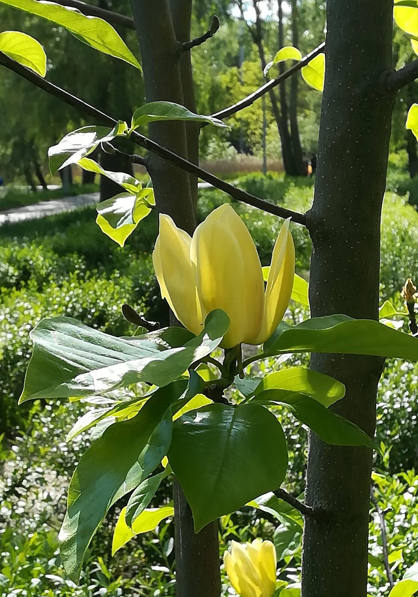 В Киеве расцвели уникальные лимонные магнолии: яркие фото