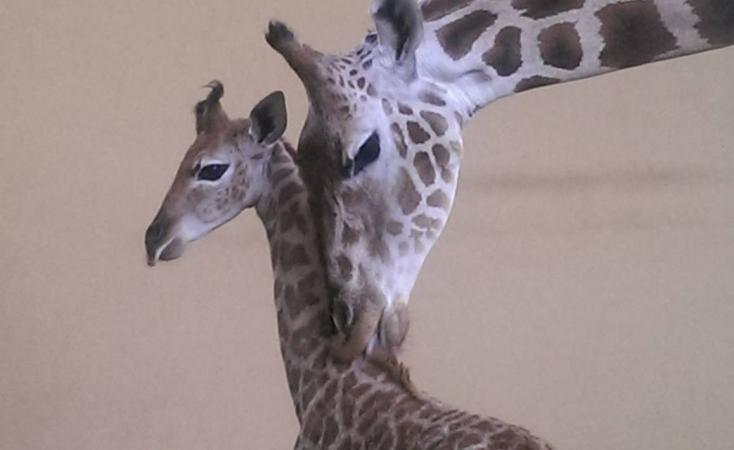 У київському зоопарку показали фото маленького жирафа