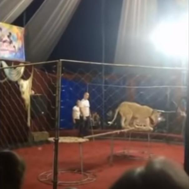 В России 4-летняя девочка после нападения львицы в цирке впала в кому
