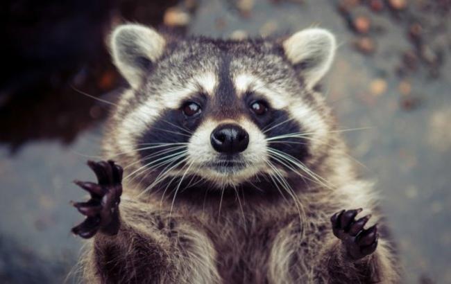 Вмосковском зоопарке еноты крадут иразбирают телефоны